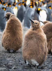 Oakum Boy or Juvenile King Penguin Starting to Molt its brown downy feathers to expose the adult feathers beneath.