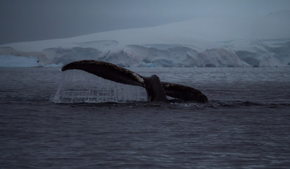 Water Rolling Off a whale's tail fluke. A snowy mountain with a glacier is in the background. Photographed at dusk.