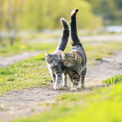 two striped lovers cat walking near the juicy Sunny meadow in the spring