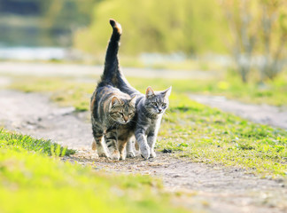 two  lovers cat walking near the juicy Sunny meadow in the spring