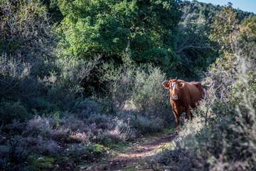 Free grazing female cow