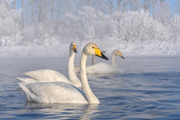 swans lake frost winter
