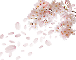 桜舞い散る白背景素材