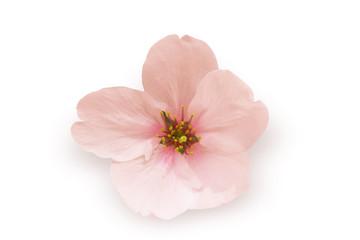 一輪の桜-白背景