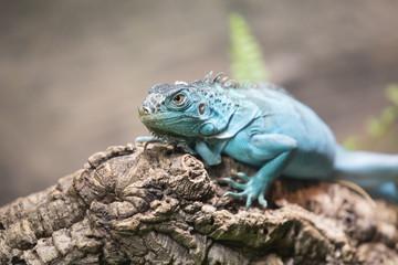 Close-up portrait of a blue iguana (Cyclura lewisi). Dubai, UAE.