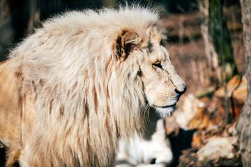 Portrait of white lion walking towards camera