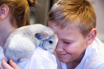 Little gray-white chinchilla sits on the shoulders