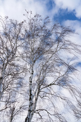 Leafless birch in winter in front of blue sky with beautiful clouds