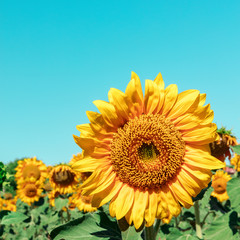 Vibrant sunflower in sunny field with place for text