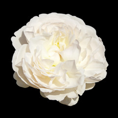White rose flower isolated on black background