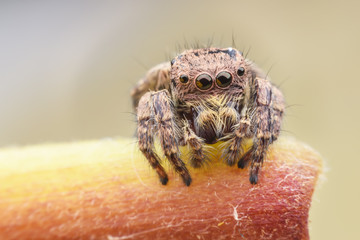 Carrhotus sannio (female) or Jumping spider on stem