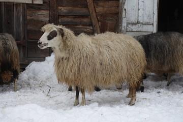 Sheep in the winter near the barn. Transcarpathia