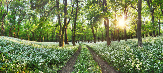 Walkway through a spring forest with blooming white flowers. Wild garlic