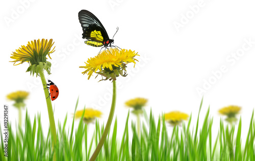 Yellow Dandelion Flowers With Butterfly And Ladybug In Grass On A White  Background.Spring Season