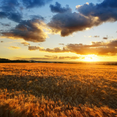 Summer landscape with golden barley field at sunset.Rural scene with ripening ears under sunlight.
