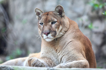 Bored mountain lion laying on rocky pedestal in zoo
