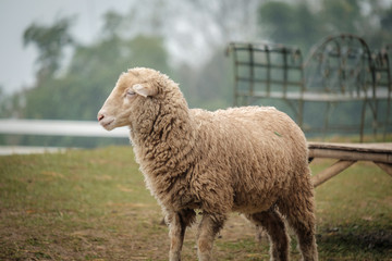 Cute funny happy sheeps at outdoor gerden nature field valley