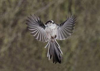 Fotoväggar - Long-tailed tit, Aegithalos caudatus,