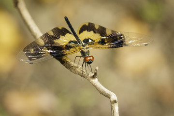Image of Variegated Flutterer Dragonfly (Rhyothemis variegata) on nature background. Insect Animal
