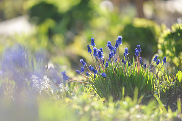 Close up of muscari flowers on flowerbed