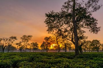 An sunset in the tea gardens of Assam
