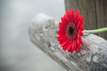 Türaufkleber Gerbera gerbera rouge coupé sur barrière en bois