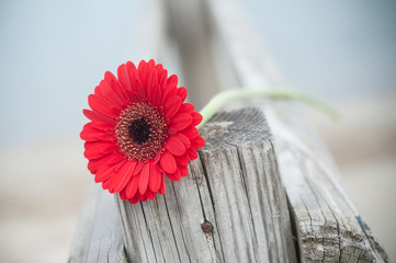 gerbera rouge coupé sur barrière en bois