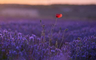 Poppy flower in lavender field