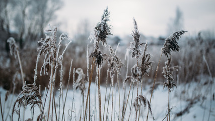 Image of old grass in snowy forest