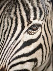Poster de jardin Zebra A close up of a equus burchelli