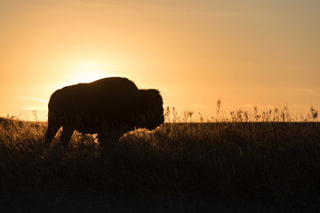 Buffalo profile with setting sun