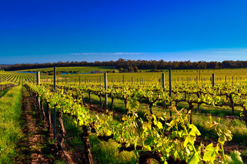 Vineyard under blue sky in Margaret River region Fotoväggar