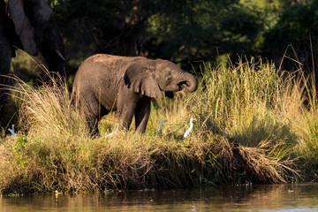 Baby Elephant Drinking Water at Riverside