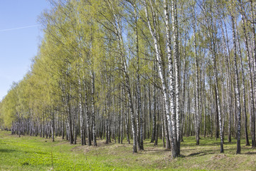 Birch trees grove. Spring russian landscape