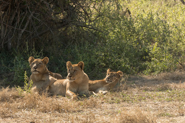 Three African Lioness under a Tree