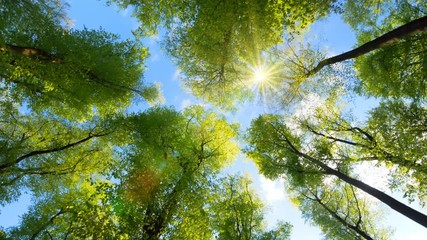 Wall Mural - The spring sun in the clear blue sky gently shining through fresh green treetops in a forest