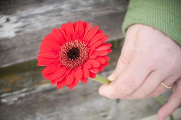 gerbera rouge dans la main