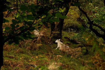 Sheep in Forest