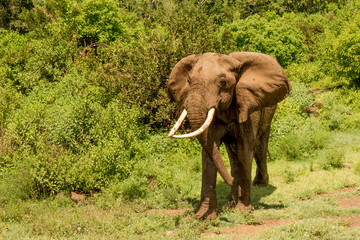 African Elephant in Front of Green Forest
