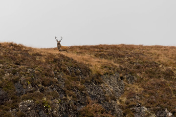 Proud Stag in Scottish Highlands