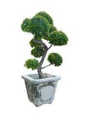 Bonsai tree, Dwarf tree isolated on white background