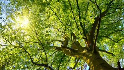 Wall Mural - The spring sun gently shining through the fresh green branches of a large beech tree