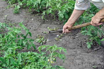gardener pull up weeds with a hoe in the tomato plantation in the vegetable garden