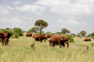 Red African Elephants