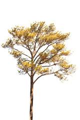 pine tree isolated on white background