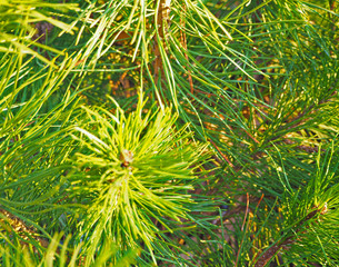 Close up pine branches with young light green shoots