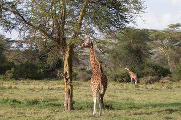 Giraffes Eating from Trees
