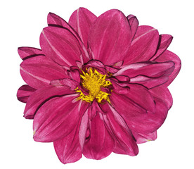 Poster Rose Flower bright pink dahlia. On a white isolated background with clipping path. Closeup. No shadows. For design. Nature..