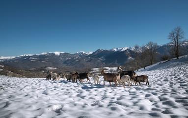 Troupeau de chèvres sur la neige