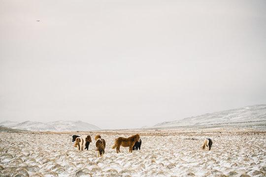 Icelandic horses standing in snowy field